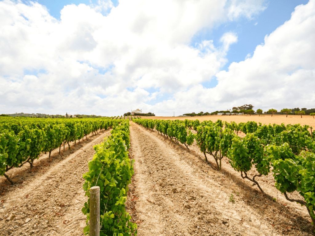 Эвора виноградники